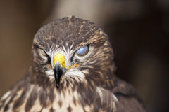 Blinder Bussard Stockfoto