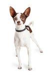 Blinder Chihuahua-Kreuzungs-Hund Stockfotografie