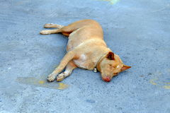 Blinder Hund, der auf dem Boden legt Lizenzfreie Stockfotografie