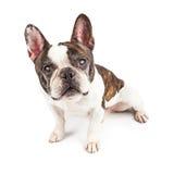 Blinder kleiner Hund lokalisiert auf Weiß Stockfotografie