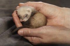 Blindes Frettchenbaby in den menschlichen liebevollen Händen Stockfotografie