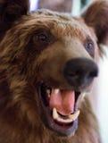Blindes Gesicht des Braunbären Stockfoto