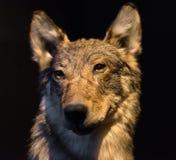 Blindes Gesicht des grauen Wolfs Lizenzfreie Stockfotos