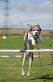 Blindfolded Dog Agility Jump Stock Image