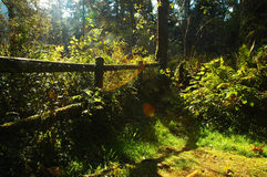 Blinding morning light. Extreme highlight, shadow, and lens flare in the deep woods in the early morning in northern California Royalty Free Stock Images