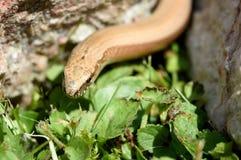 Blindworm Anguis fragilis σε μια ηλιόλουστη πέτρα στον κήπο Στοκ Φωτογραφίες