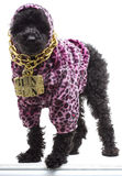 Bling Freak. A poodle wearing a pink leopard print hoodie and a gold chain necklace with 'Bling Bling' on it stock photos