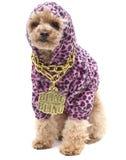 bling poodle Royaltyfri Fotografi