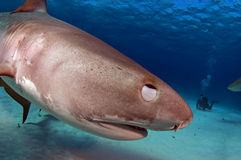 Blink. A tiger shark blinking after bumping the camera royalty free stock images