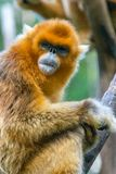 In the Blink of An Eye. As an endangered species, hundreds of golden snub-nosed monkeys take shelter at Foping National Nature Reserve, Hanzhong City, Shaanxi stock image
