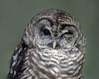 blinka för owl Royaltyfri Foto