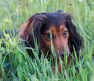 Blinkers - Dog Eyes. Image of a sausage dog Stock Photo