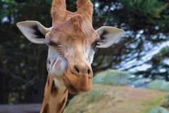 Blinzeln der Giraffe Lizenzfreies Stockfoto