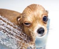 Blinzeln der lustigen Chihuahua, die eine Dusche nehmen Stockfoto