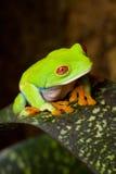 Blinzeln des Frosches Agalychnis Lizenzfreies Stockbild