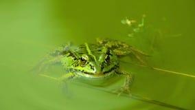 Blinzeln des grünen Frosches, der in ruhiges Wasser schwimmt stock video