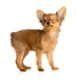 Blinzeln des Hundes Stockbilder