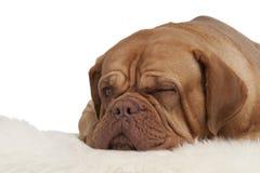 Blinzeln des Hundes, der auf dem Teppich liegt Lizenzfreie Stockbilder