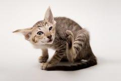 Blinzeln des roten orientalischen Kätzchens Lizenzfreie Stockfotografie