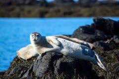 Blinzeln, entspannte Dichtung auf Stein in Island stockfotos