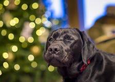 Blinzeln von Labrador Stockfotos