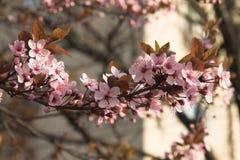 blisko brenck różowy, zdjęcie stock
