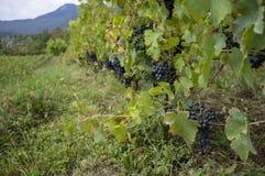 Blisko do zmielonego widoku winnica, Apremont, Savoy, Francja obraz royalty free