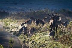 blisko huczenie rzecznej pozyci jeleni stado zdjęcia royalty free