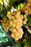 blisko klastrów w górę białych winogron Obrazy Royalty Free