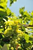 blisko klastrów w górę białych winogron Obrazy Stock