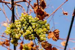 blisko klastrów w górę białych winogron obraz royalty free