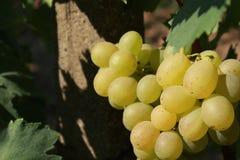 blisko klastrów w górę białych winogron Fotografia Royalty Free