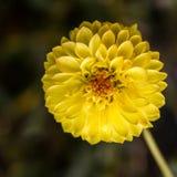 blisko kwiat w żółtym Obraz Royalty Free
