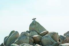 Blisko plaży na skałach siedzi ptaka przy nadmorski, piękne dennego ptaka pozy Obrazy Royalty Free