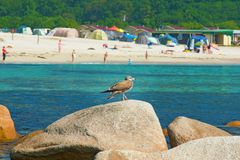 Blisko plaży na skałach siedzi ptaka przy nadmorski, piękne dennego ptaka pozy Obrazy Stock