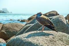 Blisko plaży na skałach siedzi ptaka przy nadmorski, piękne dennego ptaka pozy Obraz Royalty Free