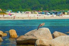 Blisko plaży na skałach siedzi ptaka przy nadmorski, piękne dennego ptaka pozy Zdjęcie Stock