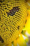 blisko pola słonecznik Hungary Fotografia Stock