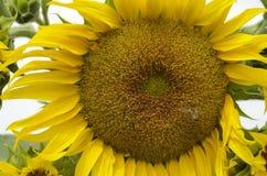 blisko pola słonecznik Hungary Zdjęcie Stock