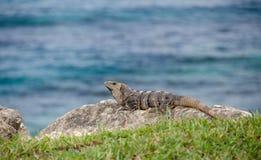 blisko punta Cancun iguana zdjęcie stock