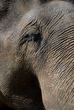 blisko słonia Fotografia Royalty Free