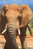 blisko słonia. zdjęcia royalty free
