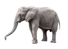 blisko słonia Duży popielaty chodzący słoń odizolowywający na białym tle Trwanie słoń folujący długości zakończenie up fotografia stock