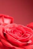 blisko tła czerwone róże. Obrazy Royalty Free