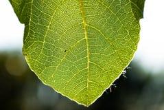blisko zielonej li?ci, Figi drzewo fotografia stock