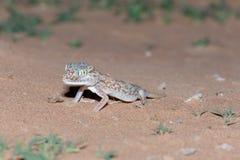 Bliskowschodni dotykający gekon w piasku zdjęcia stock