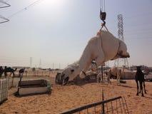Bliskowschodni wielbłądy w pustyni obrazy royalty free
