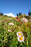Bliss. An alpine meadow bursting with wildflowers in Whistler, BC royalty free stock images