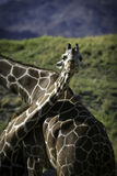 Bliss. Image of two giraffes one seems to be smiling and looks very happy Stock Photography