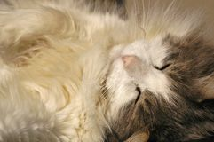 Blissed out Kitty. Close up of cat taking a nap Royalty Free Stock Photography